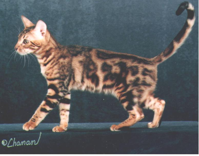 Strawberry is a beauful Bengal Cat, and now has some nice Bengal Kittens available